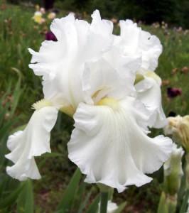 tall bearded iris ermine robe