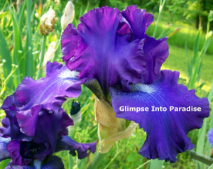 tall bearded iris larry gaulter
